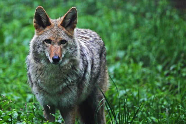 An unhealthy coyote was spotted near Newfield Elementary School in Stamford.